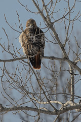 Red-tailed Hawk_41515.jpg by Mully410 * Images