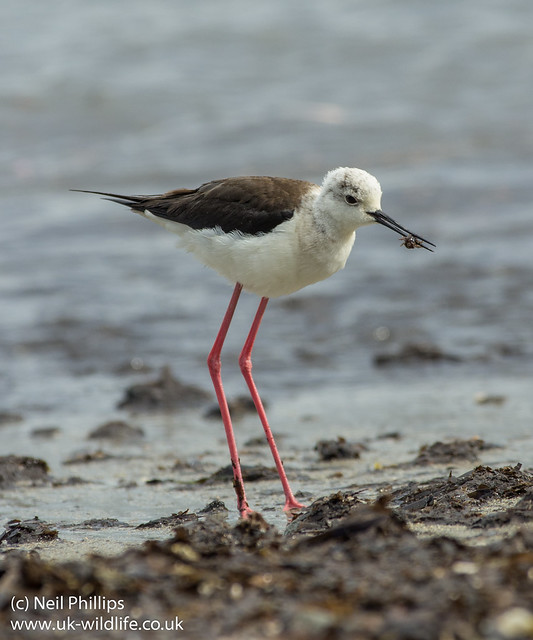 black winged stilt with isopod prey
