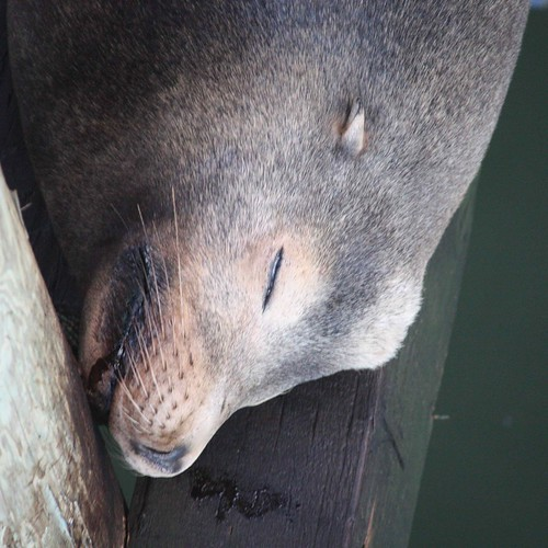 Deep sleeping Sea Lion