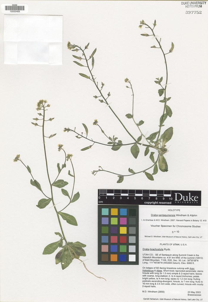 Brassicaceae_Draba santaquinensis