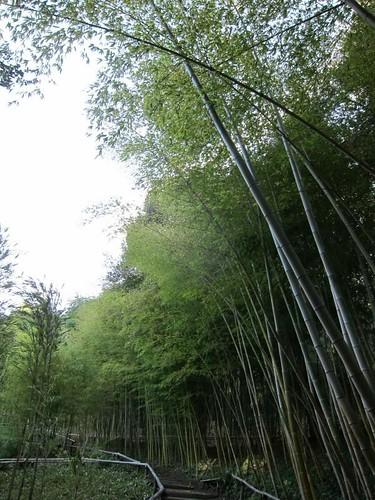 Hakone Japanese Gardens, Saratoga, CA, bamboo IMG_2467