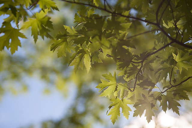 Pyramidale Silver Maple (Acer saccharinum)