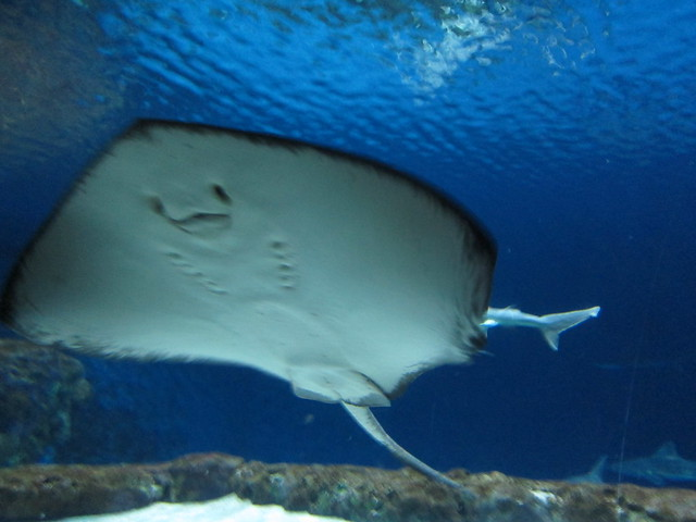 stingray happy face   Flickr - Photo Sharing! The Sting