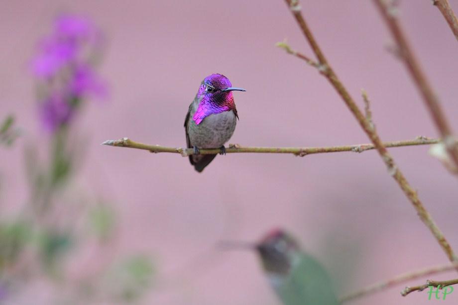 Costa's X Anna's Hybrid Hummingbird 010813