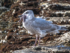 This is a mouthful!   (Immature Glaucous-winged Gull - Larus glaucescens)