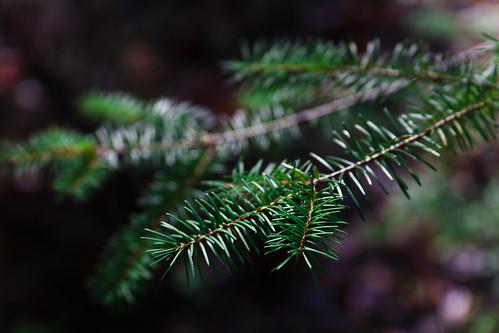 christmas tree pine oregon canon5d needles kodachrome25