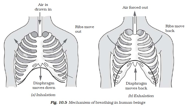 Ncert class vii science chapter 10 respiration in organisms in fig 107 now cap the bottle seal it to make it airtight to the open base of the bottle tie a thin rubber or plastic sheet using a large rubber ccuart Choice Image