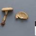 Callistosporium