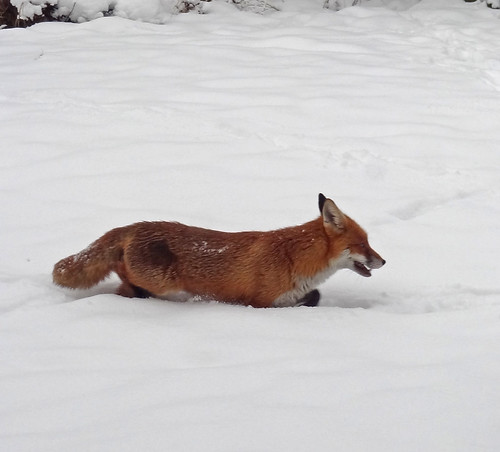 Fox Wading Through Snow