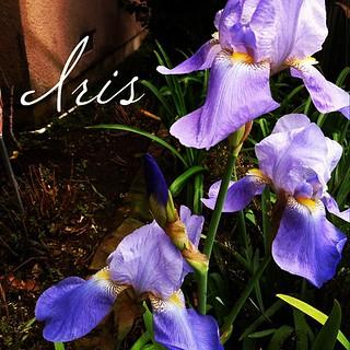 Garden Alphabet: Iris from A Gardener's Notebook (http://DouglasEWelch.com/agn/)