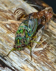 locust(0.0), wasp(0.0), membrane-winged insect(0.0), animal(1.0), cricket(1.0), invertebrate(1.0), insect(1.0), macro photography(1.0), fauna(1.0), close-up(1.0), pest(1.0),