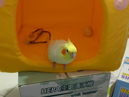 粉圓與小雞窩