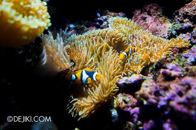 S.E.A. Aquarium - Clownfish