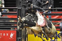 equestrian sport(0.0), fair(0.0), animal sports(1.0), rodeo(1.0), cattle-like mammal(1.0), bull(1.0), event(1.0), sports(1.0), bull riding(1.0),