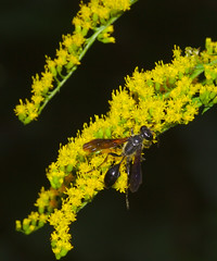 Grass-carrying wasp on tall goldenrod