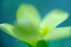 yellow clover flower