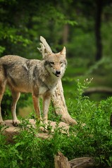 animal, czechoslovakian wolfdog, gray wolf, red wolf, mammal, fauna, wolfdog, dhole, coyote, wildlife,