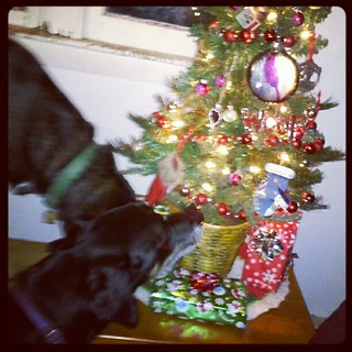 Just put up our tiny little #Christmas #tree and they're already sniffing! #dogs #dogstagram