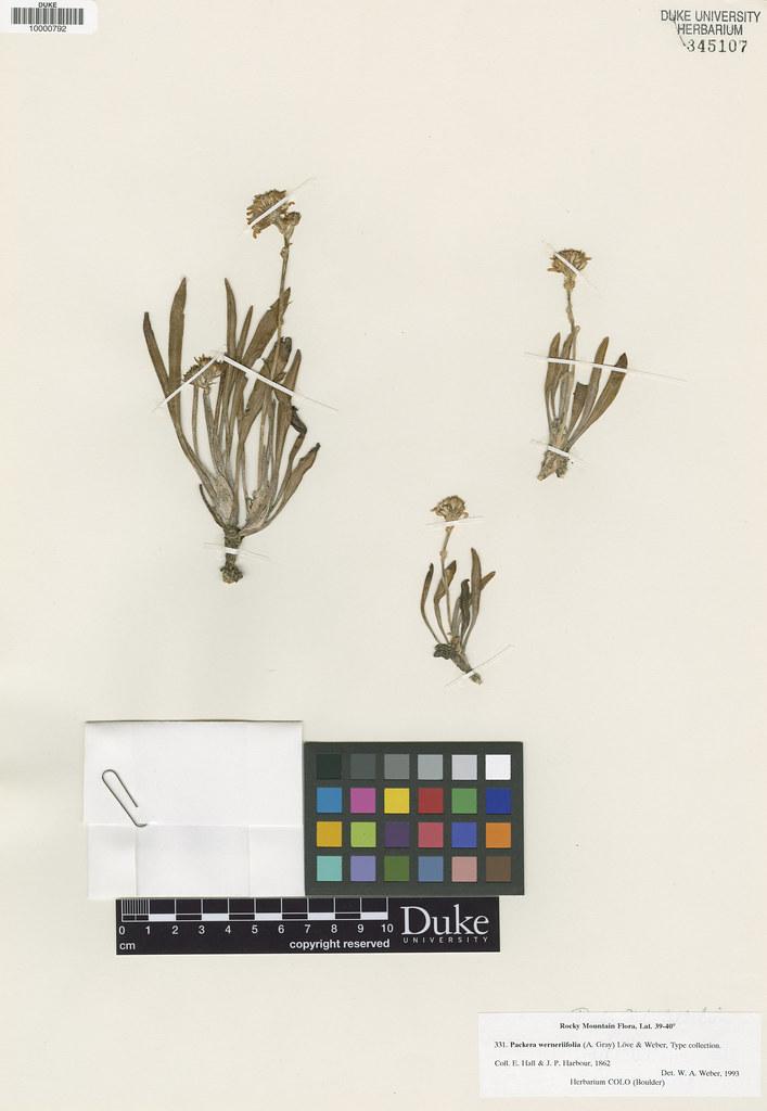 Asteraceae_Senecio aurens