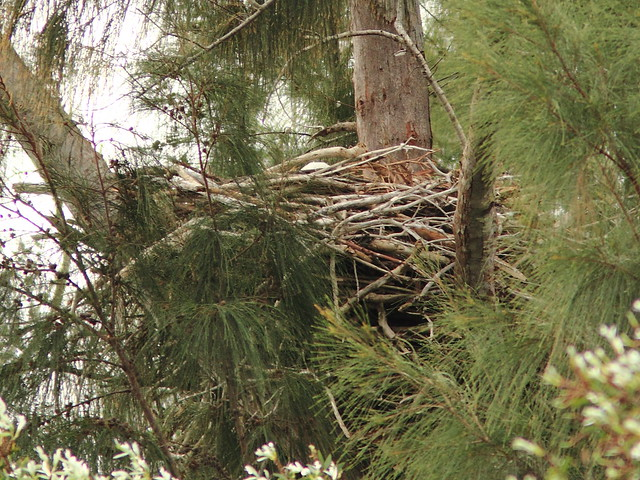Bald Eagle female incubating 0852 20121221