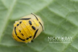 Ladybird nymph (Coccinellidae) - DSC_2542