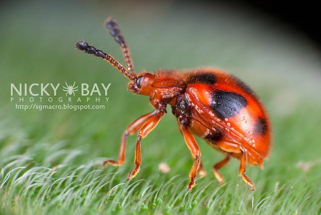 Ladybird Mimic Beetle (Coleoptera) - DSC_2276