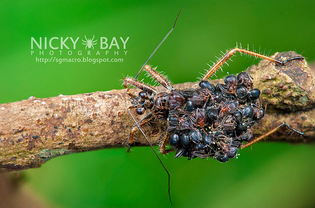 Ant-Snatching Assassin Bug (Acanthaspis sp.) - DSC_2042b