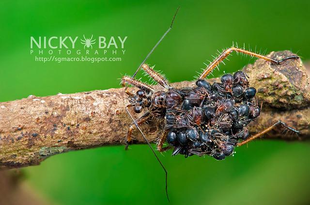 Ant-Snatching Assassin Bug (Acanthaspis sp.) - DSC_2042b