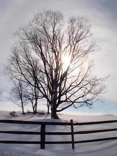 448 - Tree in Sun