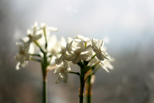 paperwhites -- just in time!