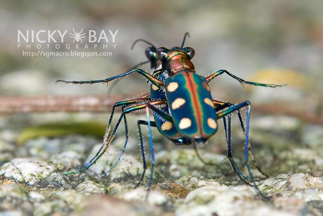 Tiger Beetle (Cicindelinae) - DSC_9939