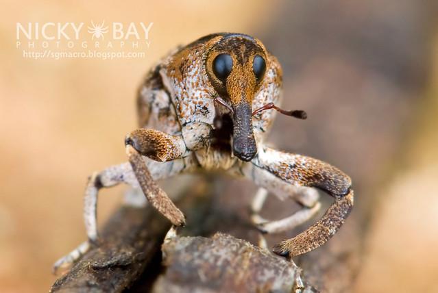 Weevil (Curculionidae) - DSC_9452