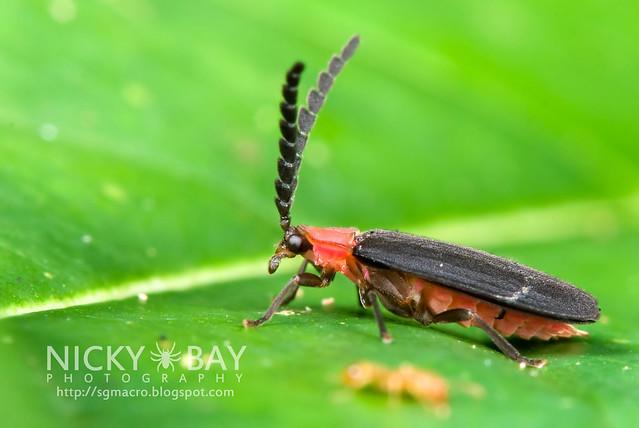 Net-Winged Beetle (Lycidae) - DSC_9532