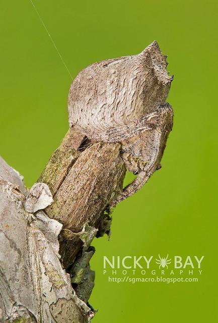 Tree Stump Orb Weaver Spider (Poltys sp.) - DSC_0309