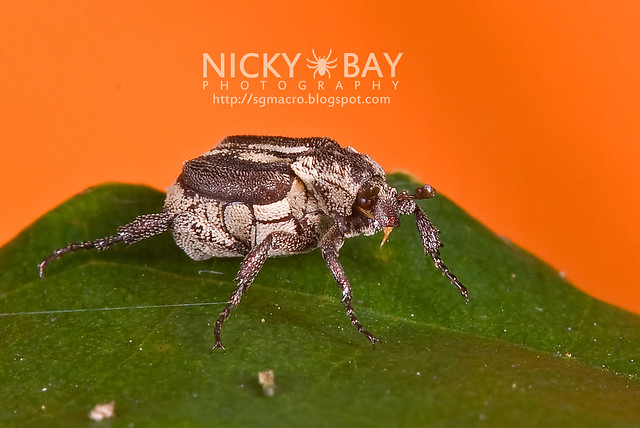Flower Chafer Beetle (Cetoniidae) - DSC_9987