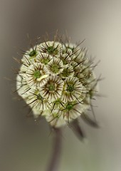 Scabiosa ochroleuca, Yellow Pincushion Flower Seedhead