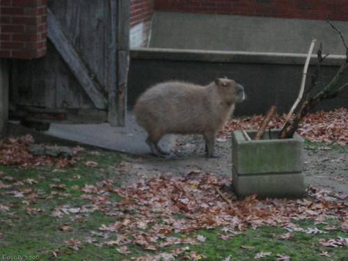 Capybara by Coyoty