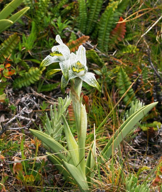 Orquidea porcelana, Porcelain or Magellan's orchid, Chloraea magellanica