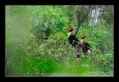 Great Hornbill pair