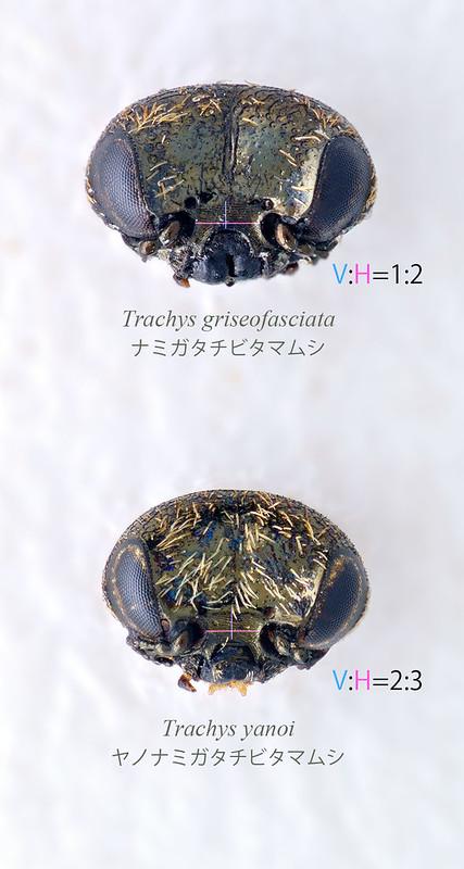 T. griseofasciata & T.yanoi