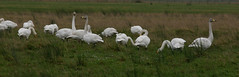 Whooper Swans @Crook of baldoon RSPB by davidearlgray