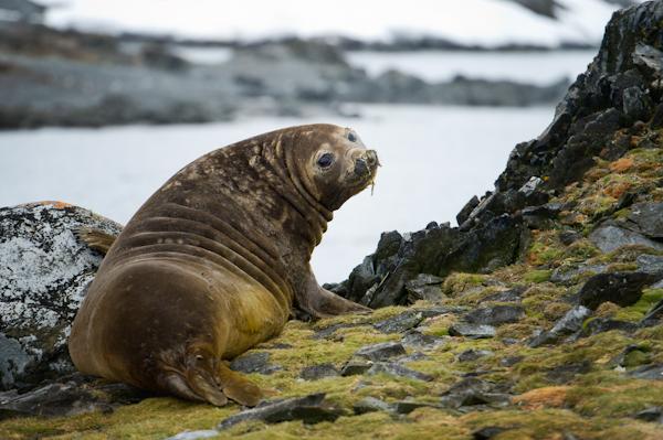 RYALE_Antarctica_Seals-2