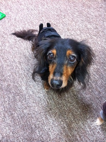 【ブログ】犬用のコルセットを作った。