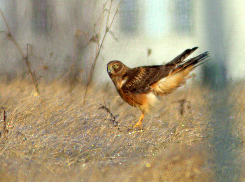 Northern Harrier 20130114