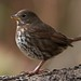 Fox sparrow by Through The Big Lens