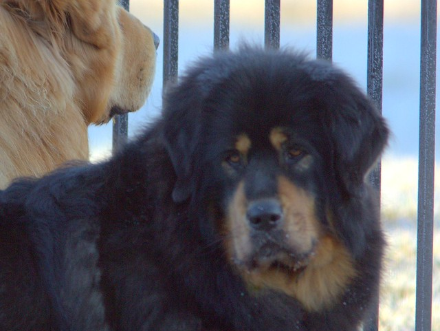 Sagua Tibetan Mastiff 20130115