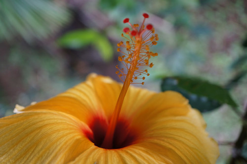 Cottage_Hibiscus