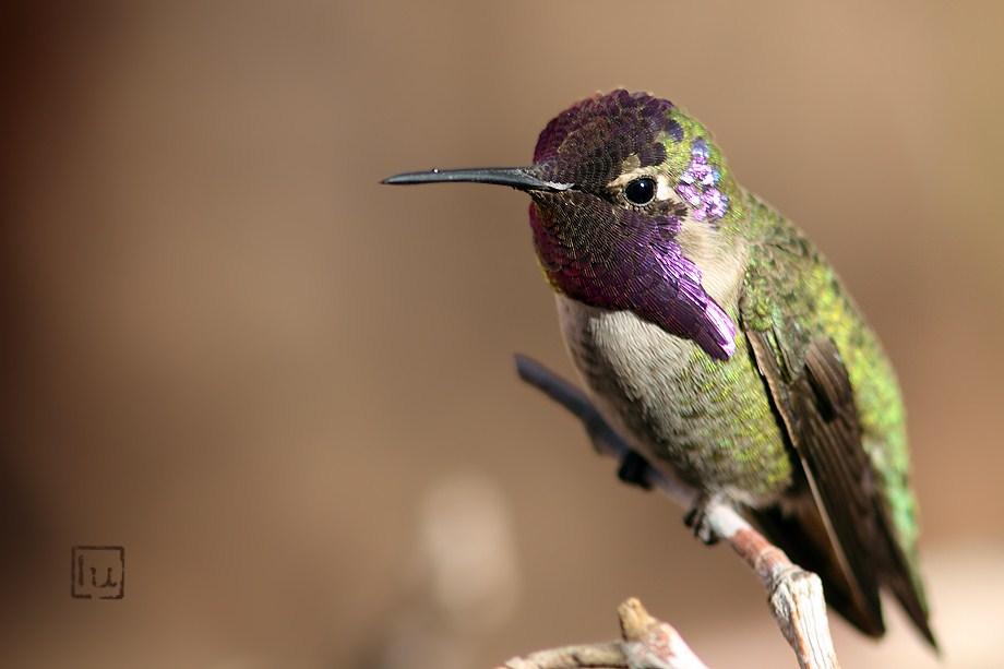 Costa's X Anna's Hummingbird 012613-4