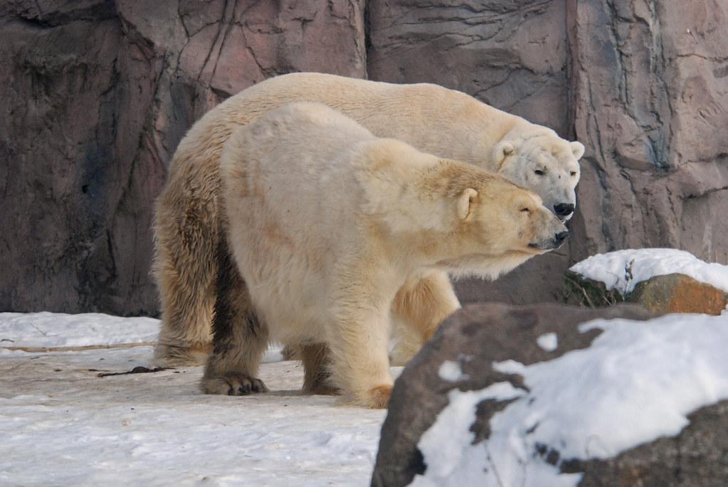 Eisbären Fanny und Elvis in der Zoom Erlebniswelt in Gelsenkirchen