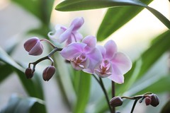 orchid unnamed phal 037